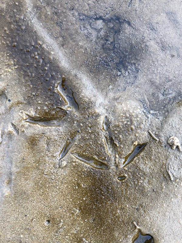 Bird footprints in the wet sand